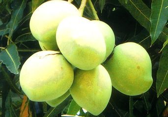 Alphonso mango trees are planted in each NA plot